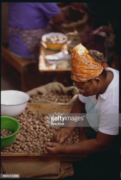 Worker Sorting Nutmeg Seeds