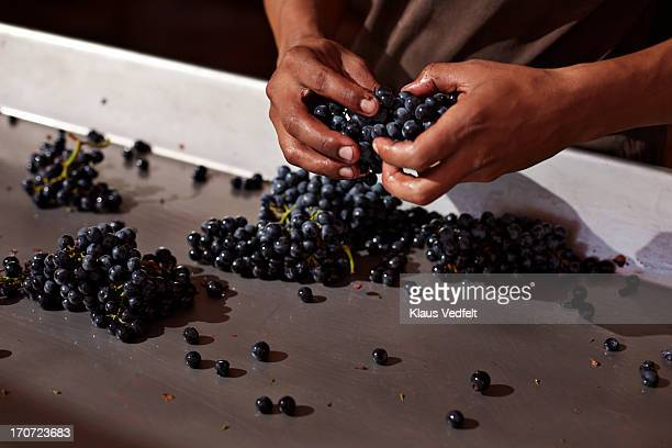 Worker sorting out grapes at winery