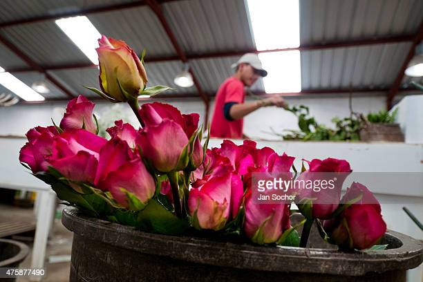 A worker sorts and packs the roses in the packaging hall of a flower farm in Cayambe Ecuador 29 June 2010 Ecuador is one of the world leaders in cut...