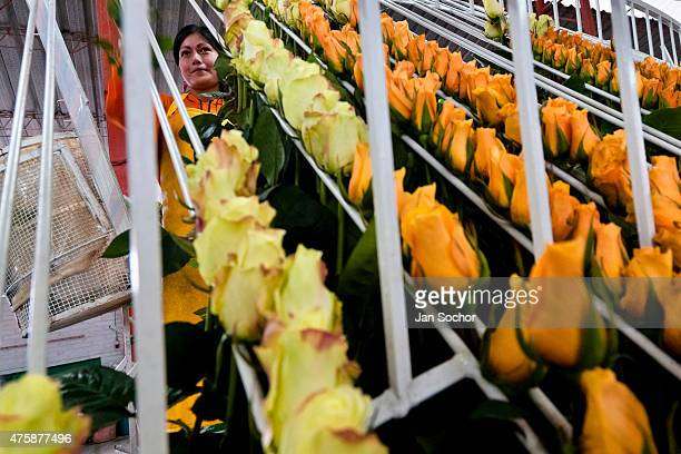 A worker sorts the orange roses in the packaging hall of a flower farm in Cayambe Ecuador 23 June 2010 Ecuador is one of the world leaders in cut...