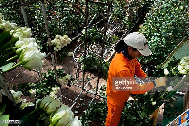 A worker sorts the white roses at a flower farm in Cayambe Ecuador 23 June 2010 Ecuador is one of the world leaders in cut flower industry The...