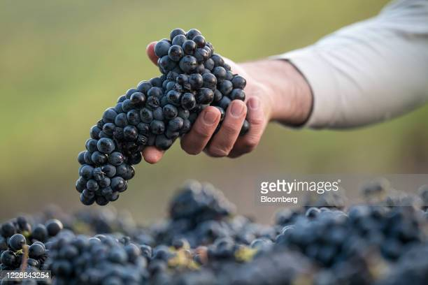 A worker sorts zinfandel grapes in a bin at a vineyard in Kenwood California US on Monday Sept 21 2020 Smoke from the LNU Lightning Complex wildfires...