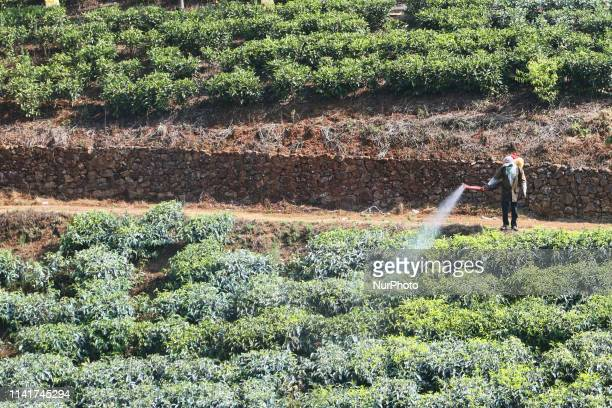 Worker sprays pesticide on tea plants seen growing along the hills of the Malankara Tea Estate in Kattapana Idukki Kerala India Tea is one of the...
