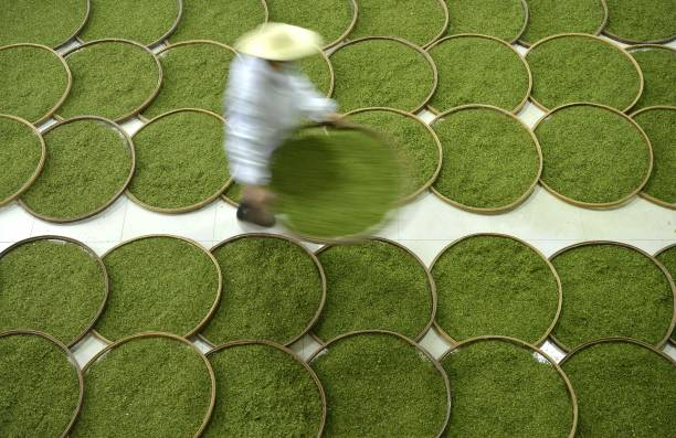 CHN: Tea Harvest And Production In Xuanen County