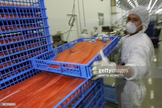FORUM = A worker stacks trays with fillets of salmon at the Fjord Seafood factory 28 October 2005 in Puerto Montt southern Chile The 20yearlong...