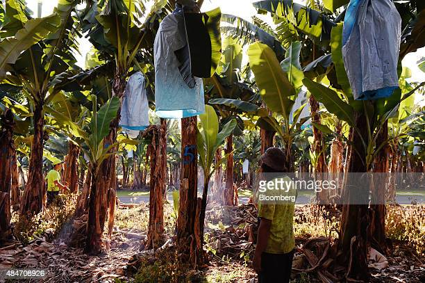 A worker stands near plantain and banana trees at the Liverpool River Bananas farm near Tully Queensland Australia on Tuesday Aug 11 2015 More than...