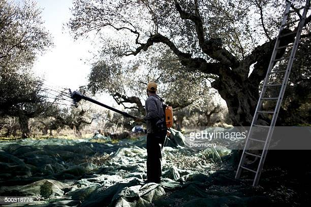 Worker stands on matting as he uses a harvesting tool to shake olives from the branches of olive trees during the harvest on farmland in the Kalamata...