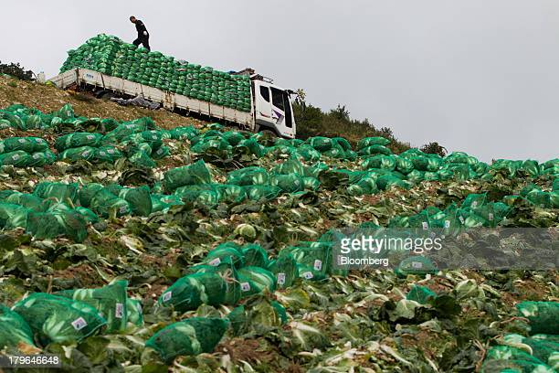 A worker stands on sacks of napa cabbages loaded onto a truck in a field on Anbandeok Hill in Gangneung South Korea on Thursday Sept 5 2013 South...