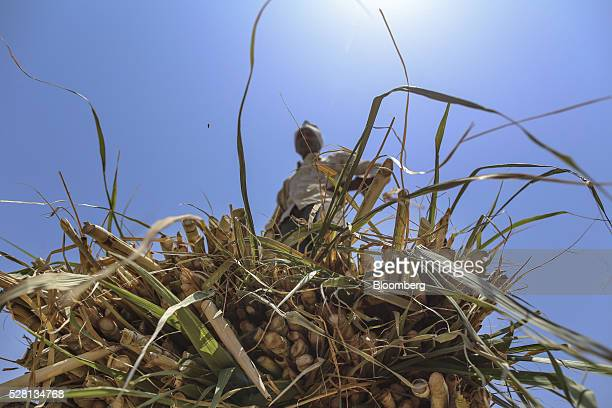 A worker stands on sugarcane tops being unloaded from a bullock cart at a cattle shelter in Beed district Maharashtra India on Friday April 15 2016...