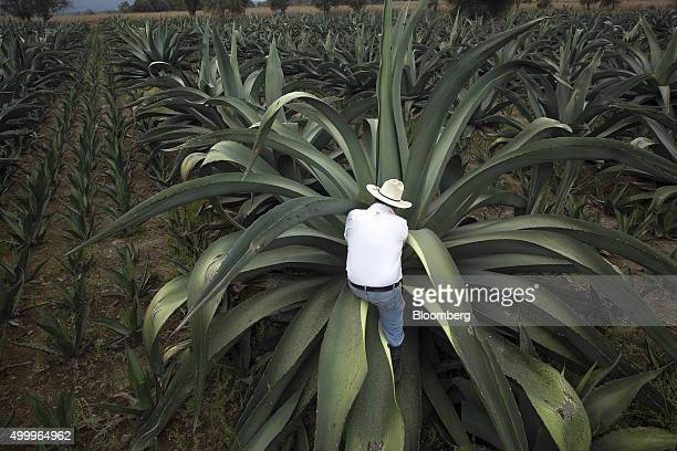 A worker stands on the leaf of a maguey plant to get closer to the plant's center in order to extract honey water to make pulque at the Del Razo...