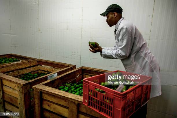 A worker stores avocados at environmentally friendly and renewable biogas energy generation in the Thika area at an avocado oil mill of Olivado...
