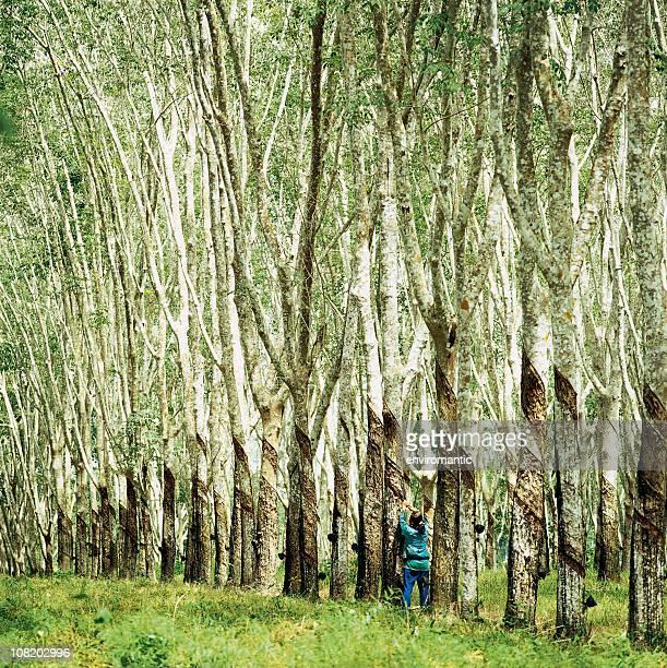Travailleur récolte dans la plantation des arbres en caoutchouc.