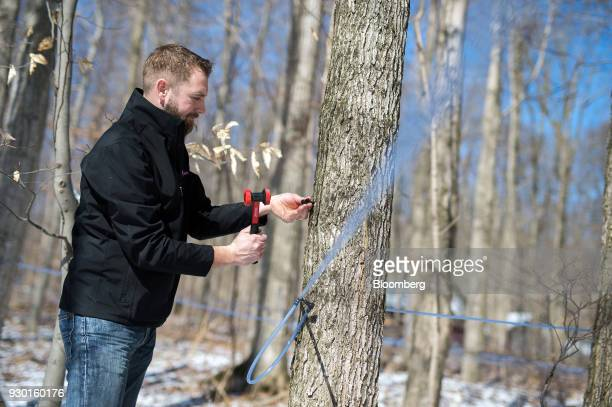 A worker taps a maple tree for sap in the Wagler Maple Products sugarbush in Wessesley Ontario Canada on Friday March 2 2018 Canadians farmers are...