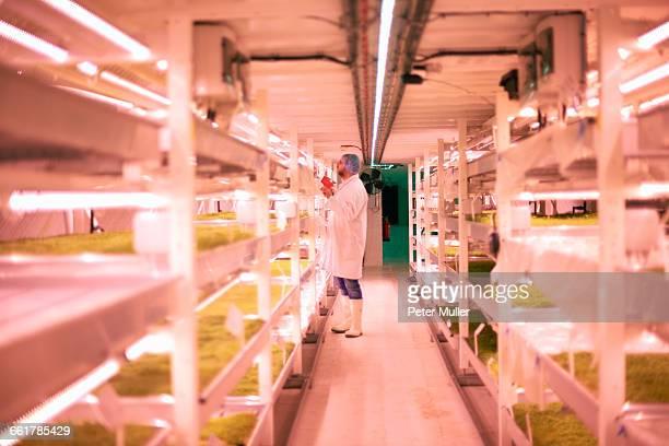 Worker tending micro greens in underground tunnel nursery, London, UK
