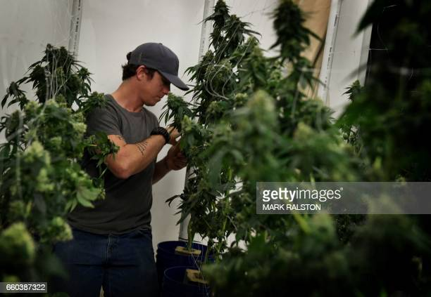 A worker tends to cannabis plants growing at the Perennial Holistic Wellness Center which is a medicinal marijuana dispensary in Los Angeles...