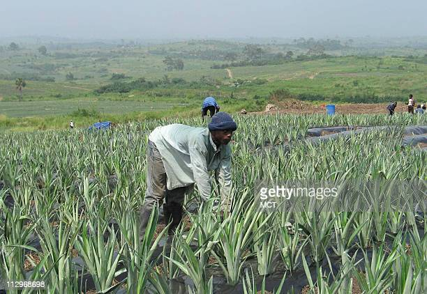 A worker tends to pineapple plants at the 1000acre Bomarts farm a private plantation outside Nsawam in southern Ghana The Bush administration has...