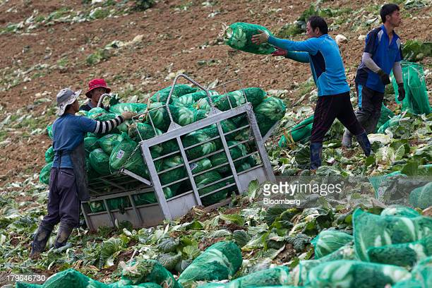 A worker throws a sack of napa cabbages into a bin in a field on Anbandeok Hill in Gangneung South Korea on Thursday Sept 5 2013 South Korea's second...