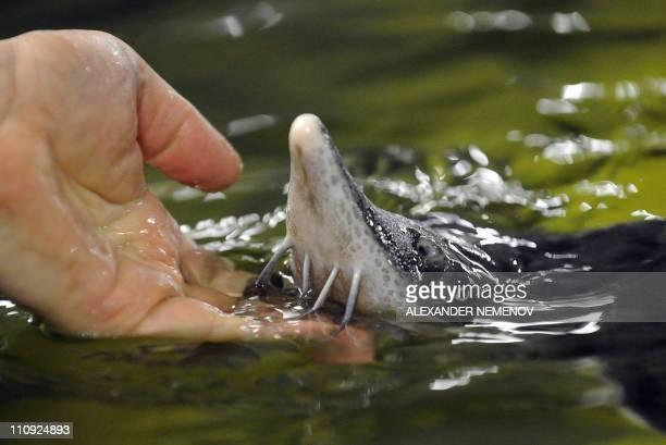 DERMY A worker touches a sturgeon at a fish farm outside the Russian town of Kaluga some 180 kilometres from Moscow on March 15 2011 Once the world's...