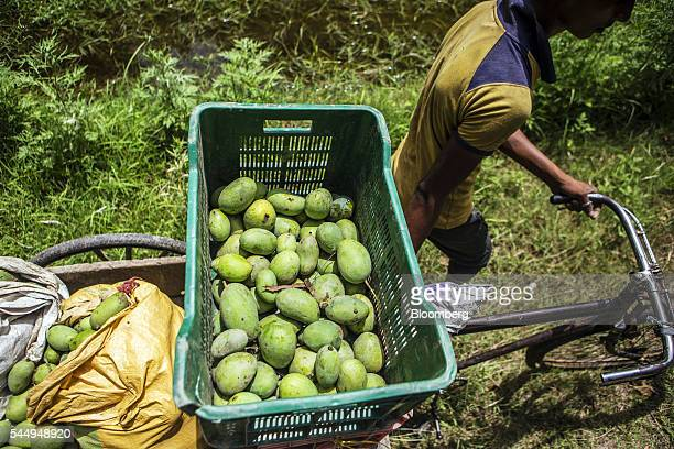 A worker transports recently harvested mangoes with a tricycle trailer in an orchard on the family farm of landowner Kunwar Vikram Jeet Singh in...