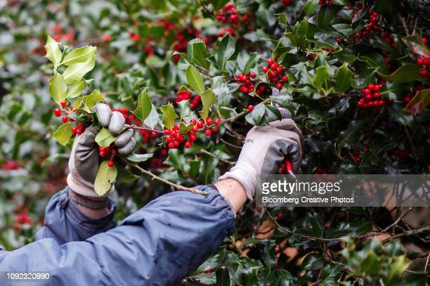 a worker trims a holly tree at a farm ahead of the holiday season - houx photos et images de collection