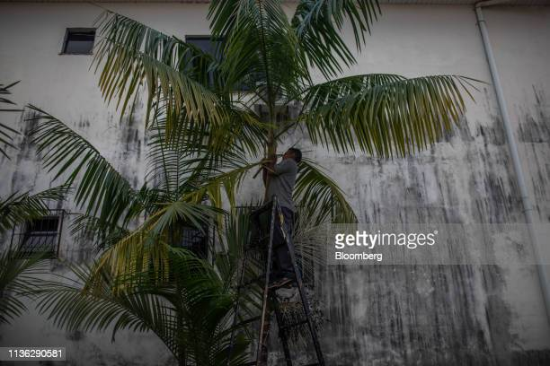 Worker trims the branches of a tree near the Venezuelan border in Pacaraima, Brazil, on Wednesday, April 10, 2019. Venezuelan refugees looking for...