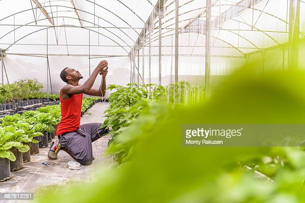 Worker tying up bell pepper plants in Hydroponic farm in Nevis, West Indies