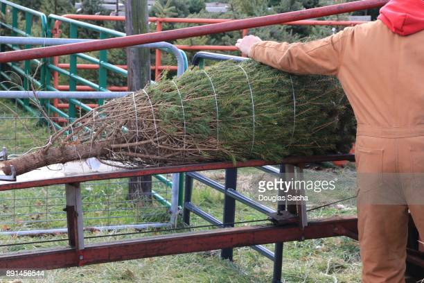 Worker unloads a wrapped Christmas tree from the Tree Baler
