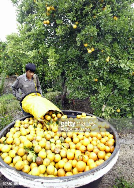 A worker unloads hand picked Valencia oranges 27 April 2004 at a grove in Immokalee FL Trunk Shake and Catch machines which are operated by a two...