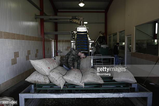 Worker unloads olive sacks at the beginning of processing into olive oil at an olive oil processing plant in the Kalamata district village of...