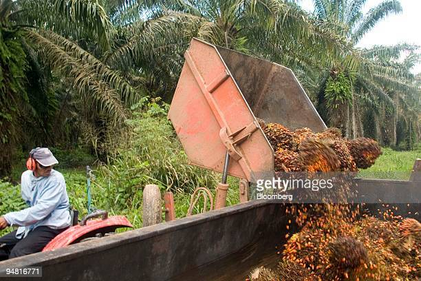 A worker unloads the fruit of oil palm trees at the Agropalma Group facility in Tailandia Para Brazil on Monday March 27 2006 Agropalma produces...