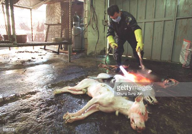 A worker uses a blow torch to tenderize the meat of dead dogs at a dog slaughterhouse February 15 2002 in Dongam west of Seoul South Korea Recently a...