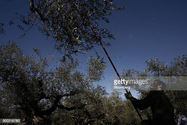 A worker uses a harvesting tool to shake olives from the branches of an olive tree during the harvest on farmland in the Kalamata district village of...