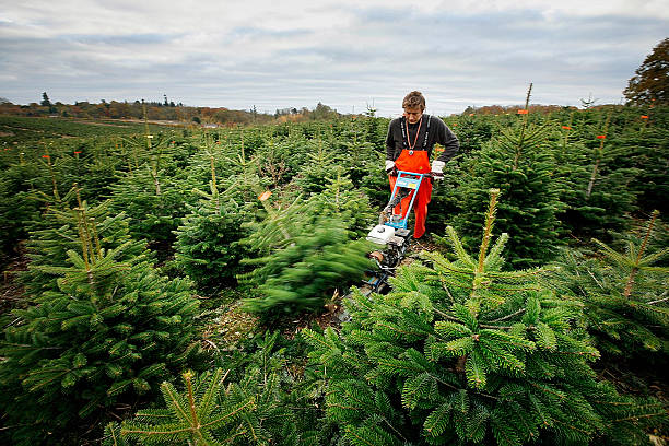 Christmas Trees Are Prepared For Customers - Christmas Trees Are Prepared For Customers Photos And Images Getty