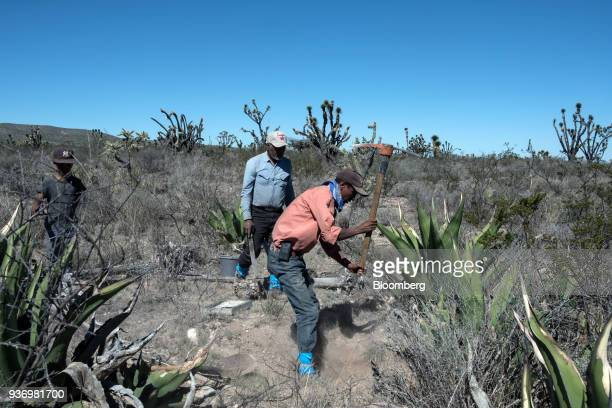 A worker uses a pickaxe to move the soil around the roots of an agave plant to extract escamoles edible ant larva in the town of Ejido Laguna Seca...