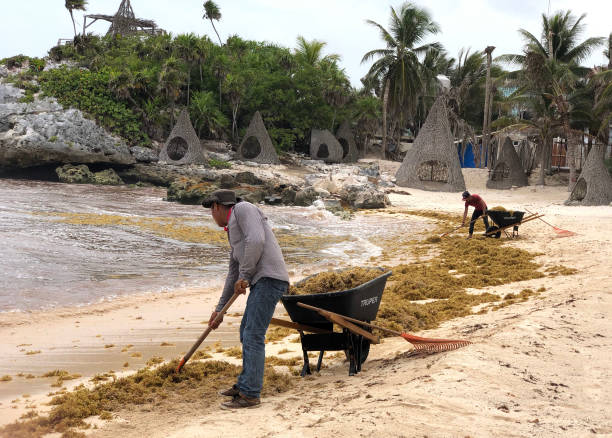 MEX: Seaweed-Like Algae Threatens Mexico's Riveria Maya Tourism Industry As It Washes Up Upon Once Pristine Beaches