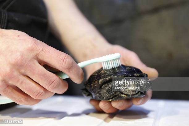 A worker uses a toothbrush to clean the shell of a European pond turtle an endangered species during spring cleaning at the SEA LIFE aquarium on...