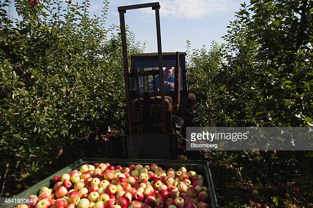 A worker uses a tractor to collect crates of harvested apples from the orchards at the Sady Trzebnica z oo apple farm in Trzebnica Poland on Monday...