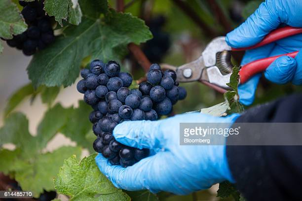 A worker uses secateurs to cut a bunch of Pinot Meunier grapes from the vines at the Ridgeview Estate Winery in Sussex UK on Thursday Oct 13 2016...