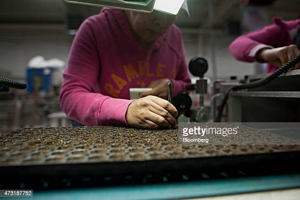 A worker uses tweezers to quality check a tray of freshly planted impatient seeds inside a greenhouse at the Color Point LLC facility in Granville...