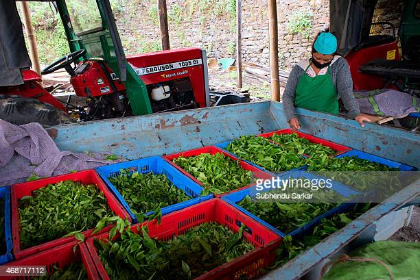 A worker waits to get plucked tea leaves weighed at Makaibari tea factory Set up in 1859 off Kurseong in the Darjeeling hills the Makaibari estate is...