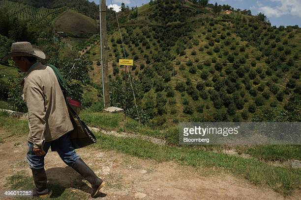 A worker walks along a road during avocado harvest at the Finca Los Abuelos plantation in El Penol Colombia on Thursday Oct 22 2015 Colombian Hass...