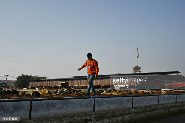 A worker walks along a wall as cows graze in a pen at the Sri Krishna Gaushala on the outskirts of New Delhi India on Sunday Jan 21 2018 The nursing...