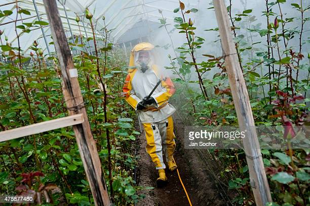 A worker walks among rose bushes spraying the pesticide dilution at a flower farm in Cayambe Ecuador 29 June 2010 Ecuador is one of the world leaders...