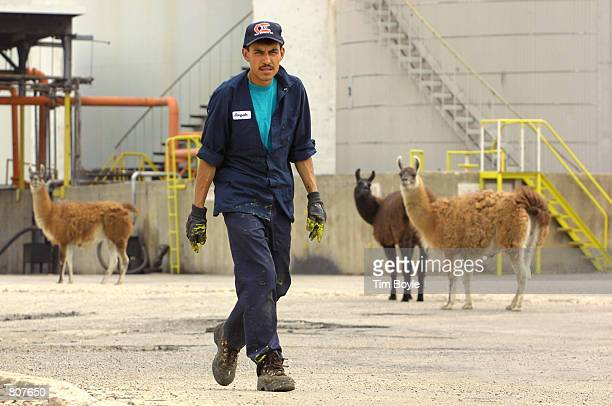 A worker walks in front of a small group of llamas May 2 2001 at the Ameropan Oil Corp petroleum storage facility on the west side of Chicago The...