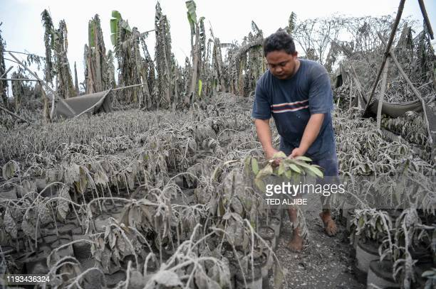 A worker walks past plants covered with mud and ash after Taal volcano erupted in Talisay town Batangas province south of Manila on January 13 2020...