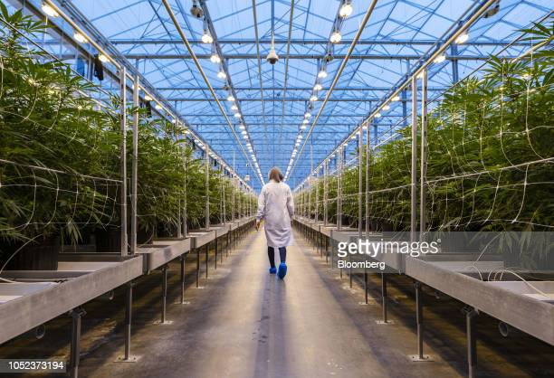 Worker walks past rows of cannabis plants growing in a greenhouse at the Hexo Corp. Facility in Gatineau, Quebec, Canada, on Thursday, Oct. 11, 2018....