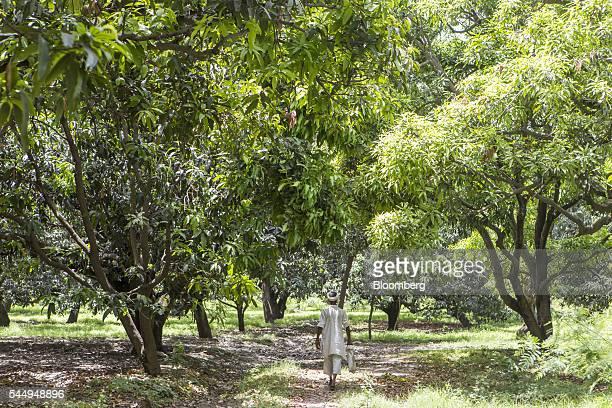 A worker walks through a mango orchard on the family farm of landowner Kunwar Vikram Jeet Singh in Kuchesar Uttar Pradesh India on Tuesday May 24...