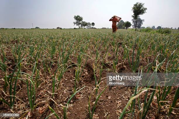 A worker walks through an onion field on a farm near Chandwad Maharashtra India on Wednesday Oct 23 2013 Onion prices in India may extend a record...