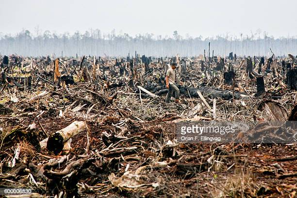 A worker walks through what used to be rainforest in Riau in Sumatra The forest was illegally cut down and sold as wood pulp and the peatland likely...