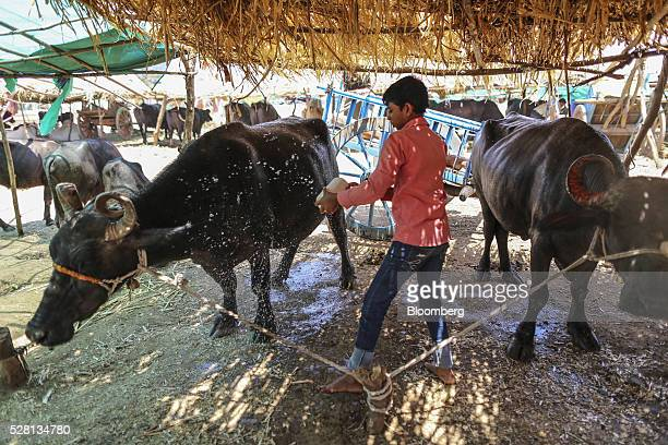 A worker washes cows at a cattle shelter in Beed district Maharashtra India on Friday April 15 2016 Hundreds of millions of people in India are...